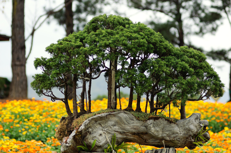 Bonsai trees with flowers on background in Golden Valley near Da Lat, Vietnam